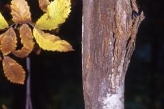 Cancro della corteccia (Endothia parasitica copia